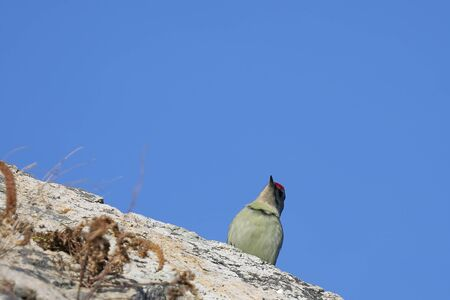 Gray-headed woodpecker (Picus canus) sitting on the rock on blue sky background in sunny autumn day. Wild woodpecker in natural habitat.