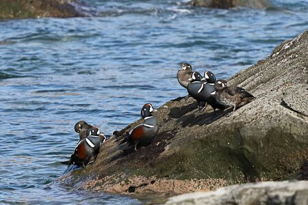Harlequin ducks (Histrionicus histrionicus) flock sitting on coastal rock. Group of wild ducks in natural habitat.