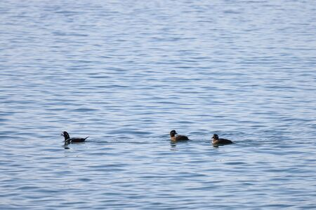 Harlequin ducks (Histrionicus histrionicus) swimming on the sea surface. Two ducks follow the drake. Group of wild ducks in natural habitat. Reklamní fotografie