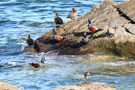 Harlequin ducks (Histrionicus histrionicus) sitting on coastal rocks and swimming in transparent sea water closeup. Group of wild diving ducks in natural habitat. Colorful seabirds in sunny day.