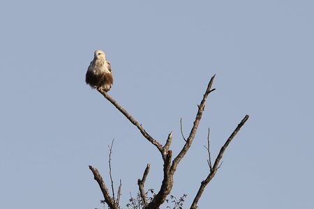 Eastern buzzard or Japanese buzzard (Buteo japonicus) sitting on tree branch on blurred background of autumn yellow-brown forest and sky. Bird of prey in natural habitat.