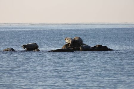 Seals (spotted seal, largha seal, Phoca largha) laying on the rock in sea water in sunny day on ocean horizon background. Wild spotted seal sanctuary.