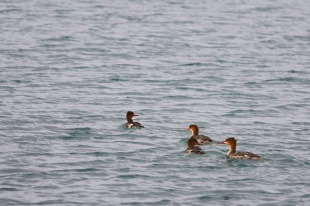 Group of Red-breasted mergansers (Mergus serrator) ducks swimming in calm reflecting sea water. Wild diving ducks in nature.