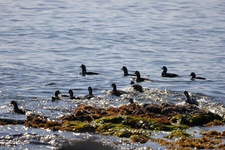 Big flock of Harlequin ducks (Histrionicus histrionicus) swimming on sea surface near the rocky coast. Wild diving ducks in natural habitat.