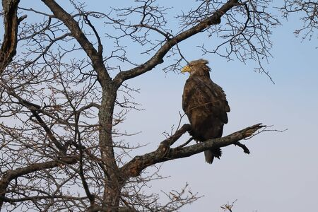 Eagle sitting on tree branch on sky background. White-tailed eagle (Haliaeetus albicilla) hunting in natural habitat. Bird of prey looking around seeking for prey.