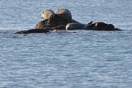 Seals (spotted seal, largha seal, Phoca largha) laying on the rock in sea water in sunny day. Wild spotted seal sanctuary.