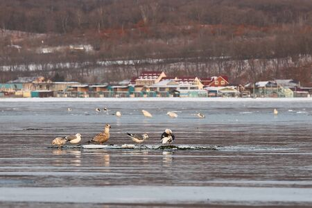Seagulls floating on ice floe in sea on blurred background of coastal settlement. Winter seascape with wild seabirds.