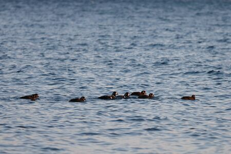 Flock of harlequin ducks (Histrionicus histrionicus) swimming in icy cold sea water in sunset light. Group of wild diving ducks in natural habitat.