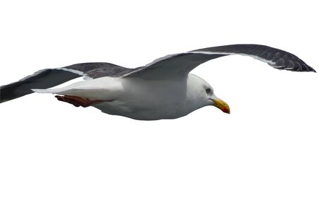 Seagull flying closeup isolated on white background.