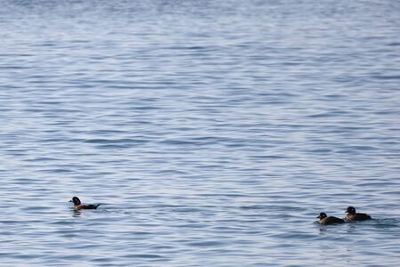 Harlequin ducks (Histrionicus histrionicus) swimming on the sea surface. Two ducks following the drake. Group of wild ducks in natural habitat. Reklamní fotografie