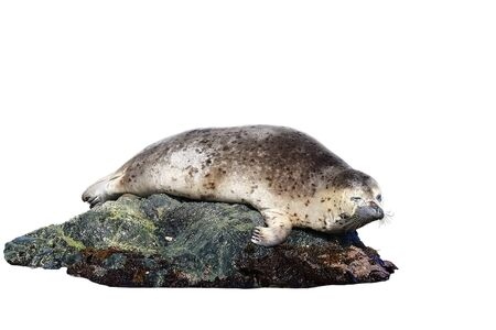 Baby seal (spotted seal, largha seal, Phoca largha) laying on the sea stone isolated on white background closeup.