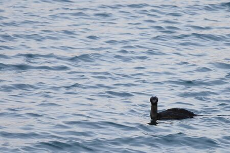 Duck swimming in calm blue sea water. Wild black diving duck in nature.
