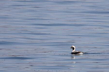 Long-tailed duck (Clangula hyemalis), or oldsquaw duck swimming on calm blue sea water. Wild male seabird in winter plumage.