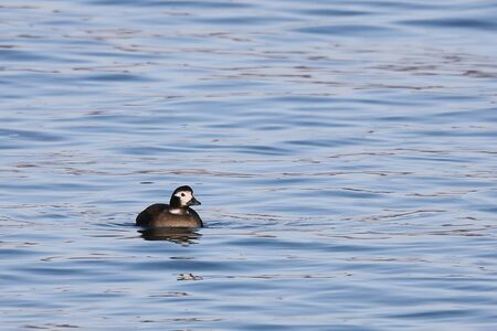 Long-tailed duck (Clangula hyemalis), or oldsquaw duck swimming on calm blue sea water. Wild seabird in winter plumage.