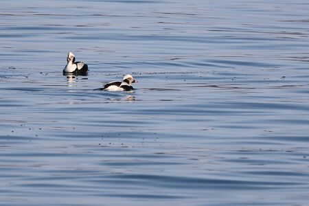 Long-tailed ducks (Clangula hyemalis), or oldsquaw duck swimming on calm blue sea water. Wild males seabird in winter plumage. Reklamní fotografie