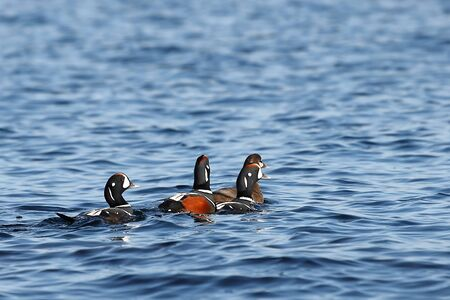 Ducks flock swimming in blue sea water. Wild Harlequin ducks (Histrionicus histrionicus) in natural habitat. Drakes following the leading duck.