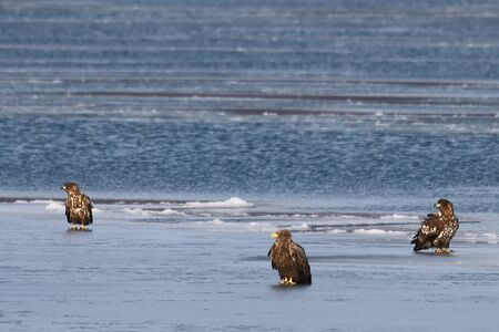 Eagles sitting on sea ice floe. White-tailed eagles (Haliaeetus albicilla) hunting in natural habitat. Birds of prey in winter cold looking around seeking for prey.