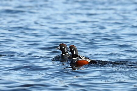 Ducks swimming in blue sea water. Two brightly colored males ducks swimming together. Wild Harlequin ducks (Histrionicus histrionicus) in natural habitat.
