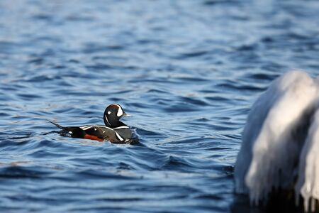 Duck swimming in blue sea water near the ice covered coastal rock. Wild Harlequin duck (Histrionicus histrionicus) in natural habitat. Colorful drake moving on sea surface closeup.