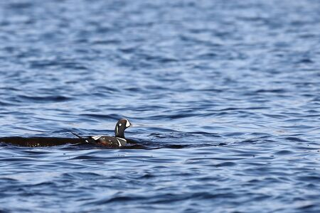 Duck swimming in blue sea water. Wild Harlequin duck (Histrionicus histrionicus) in natural habitat. Colorful drake moving on sea surface closeup.