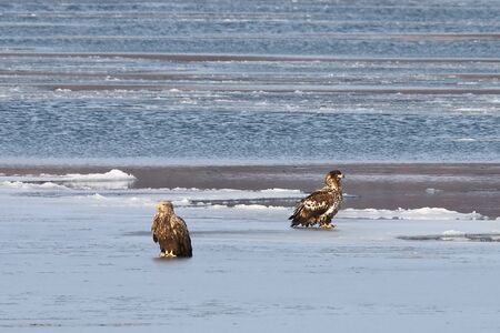 Eagles sitting on sea ice floe. White-tailed eagle (Haliaeetus albicilla) hunting in natural habitat. Birds of prey in winter cold looking around seeking for prey.