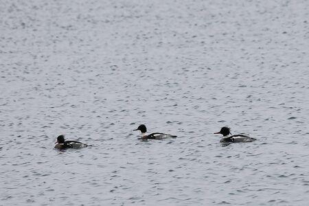 Ducks flock swimming in sea. Group of wild Goosander (Mergus merganser) males in natural habitat. Diving pochard seabirds on the move.