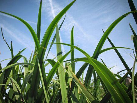 knospe: Langes Gras