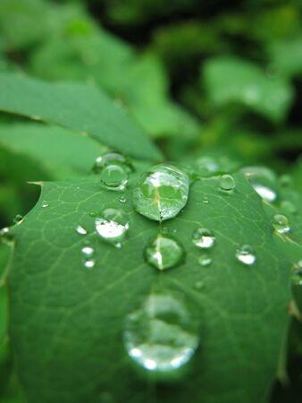 knospe: giant water droplets on leaf
