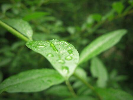 knospe: Wet green leaf