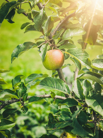 Mini apple tree
