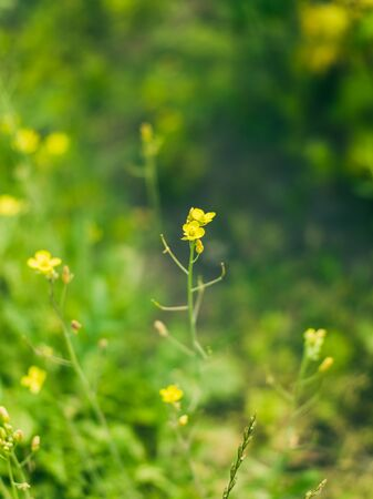 Sharp buttercup Standard-Bild