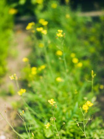 Sharp buttercup Standard-Bild