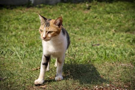 stalking: A cat stalking its prey.