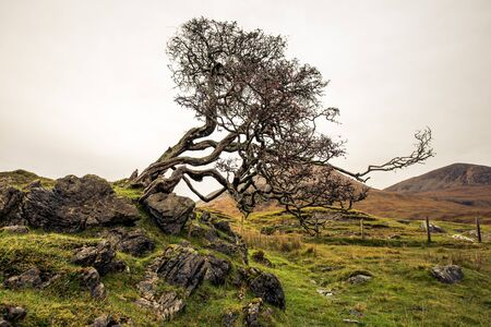 A wind swept tree in the Scottish highlands