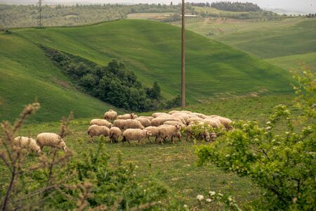 a field of sheep in italy