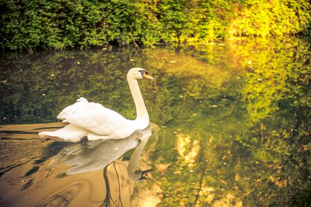 a swan in a stream in france