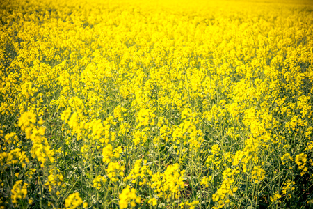 a field of yellow flowers in france Stok Fotoğraf