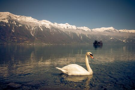 a swan in lake brienz in switzerland