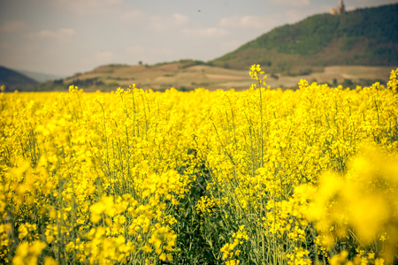 a field of yellow flowers in france Stock Photo