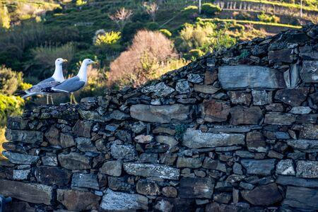 seagulls in Manarola Italy