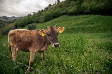 a cow in the field in italy