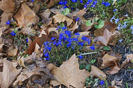 lobelia: Garden lobelia (Lobelia erinus). Called Edging Lobelia and Trailing Lobelia also