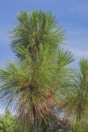 palustris: Longleaf pine (Pinus palustris). Called Southern Yellow Pine also