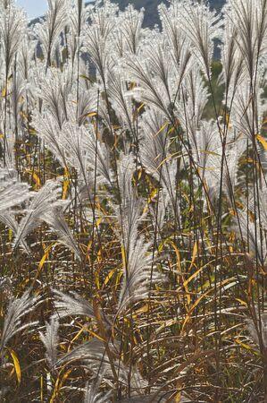 amur: Amur silver grass (Miscanthus sacchariflorus). Called Japanese silver grass also