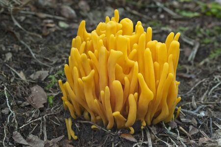 spindles: Golden spindles (Clavulinopsis fusiformis). Called Spindle-shaped yellow coral and Spindle-shaped fairy club also. Close up image of fungus Stock Photo