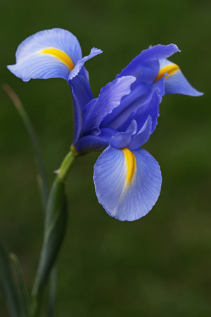 Dutch iris (Iris xiphium). Called Spanish iris also. Close up image of blue flower 写真素材