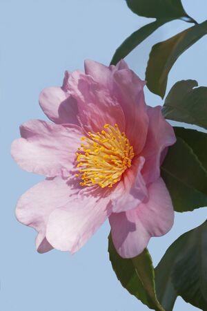 winters: Winters fancy hybrid camellia (Camellia x hybrid Winters Fancy). Image of single flower