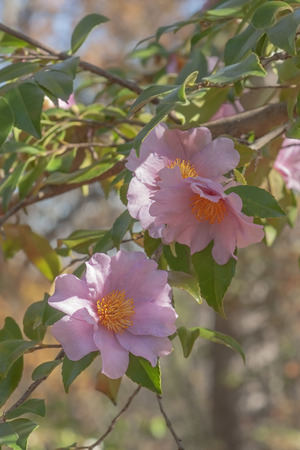 winters: Winters fancy hybrid camellia (Camellia x hybrid Winters Fancy). Image of several flowers Stock Photo