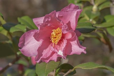 winters: Winters Fire hybrid camellia (Camellia x hybrid Winters Fire). A hybrid of Camellia vernalis Takarazuka and Camellia oleifera Frost Prince). Image of single flower Stock Photo