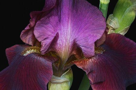 Hybrid German iris (Iris x germanica). Close up image of flower isolated on black background